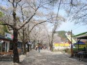 今が満開 2018年一度は訪れたい韓国の桜絶景スポットTOP10