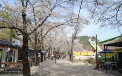 全羅南道を代表する桜の名所、鎮安郡の馬耳山