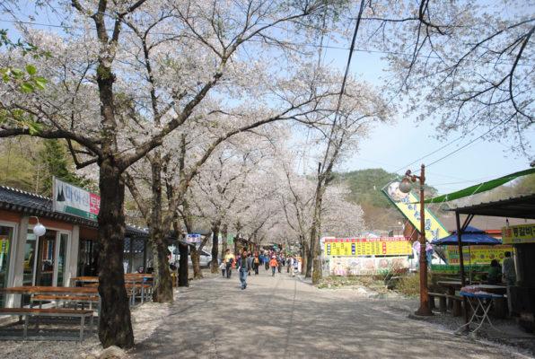 韓国の桜の見頃は東北地方と同じ4月初旬とまさに今が満開。各地で桜祭りが開かれる