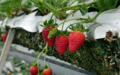 東南アジアでは韓国産イチゴが人気上昇中