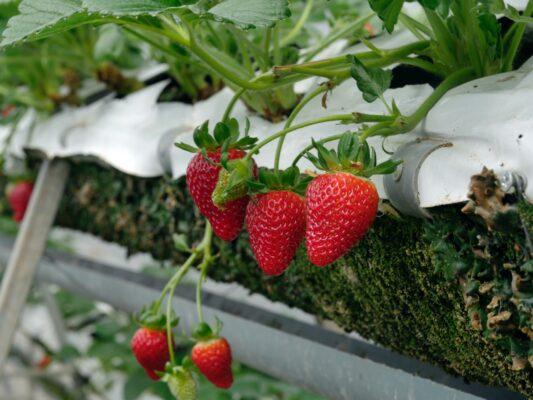 59億円分輸出された韓国産イチゴ
